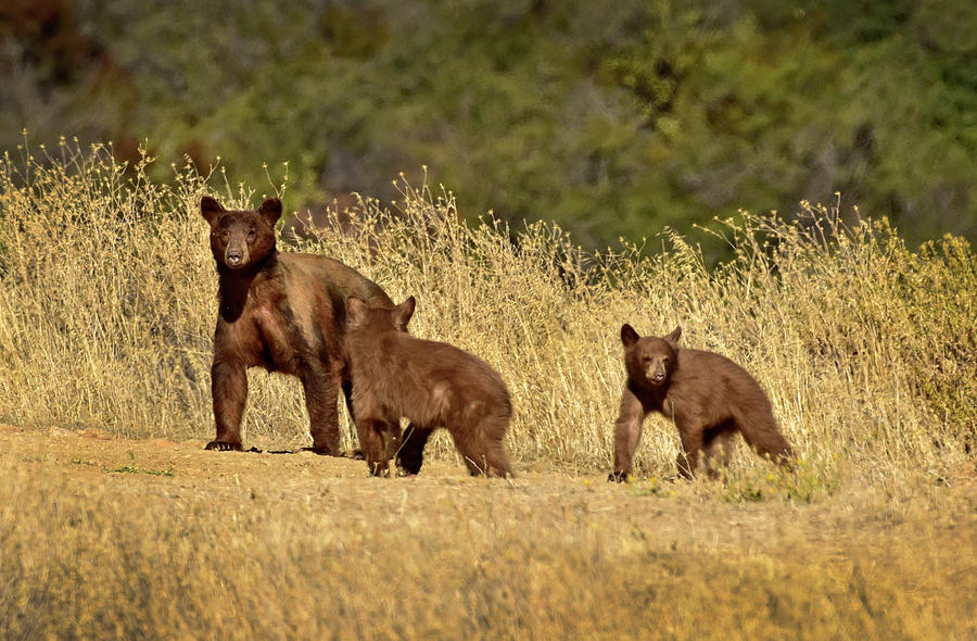 Black Bear and Cubs by Cindy McIntyre