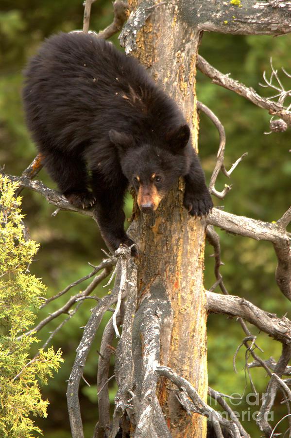 Black Bear Climbing A Tree by Adam Jewell