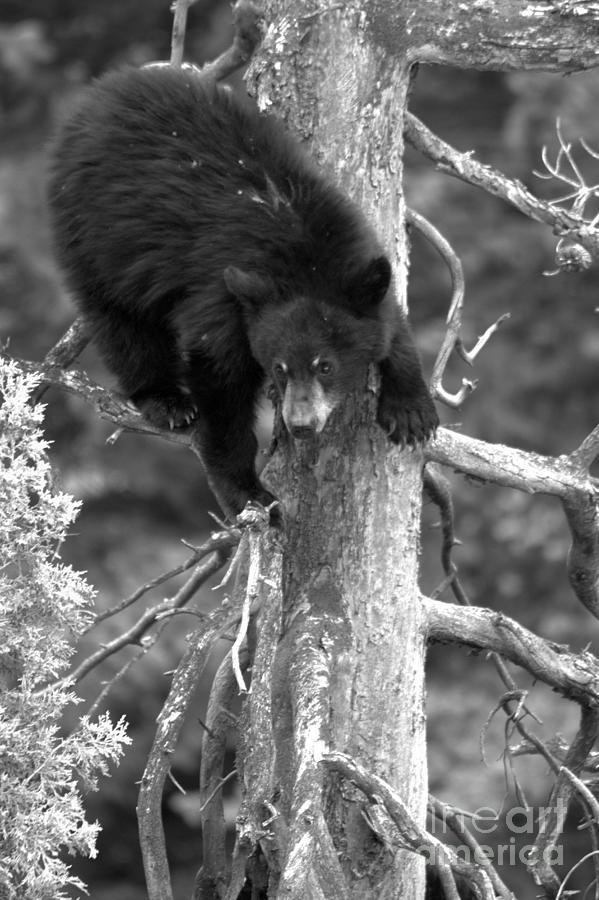 Black Bear Climbing A Tree Black And White by Adam Jewell