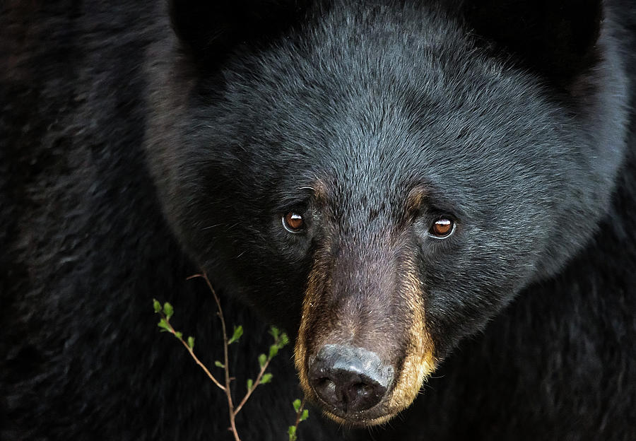 Black Bear Close Up by Tracy Munson