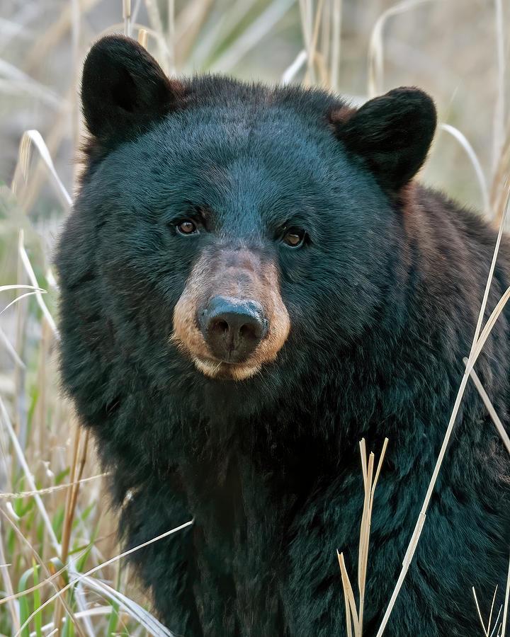 Black Bear Closeup Photograph