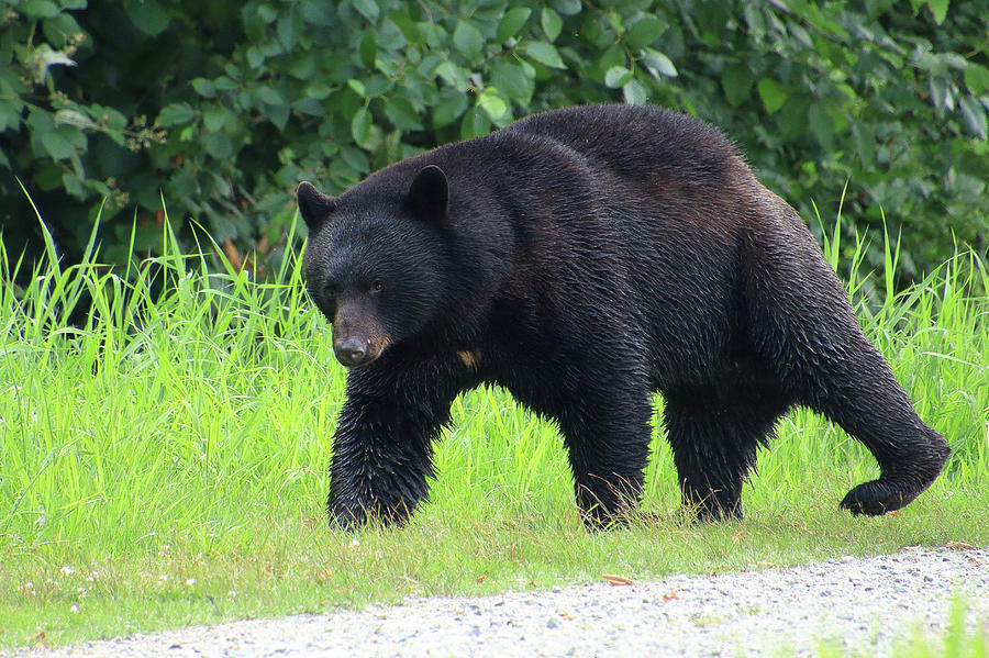 Black bear crossing by Hagen Pflueger