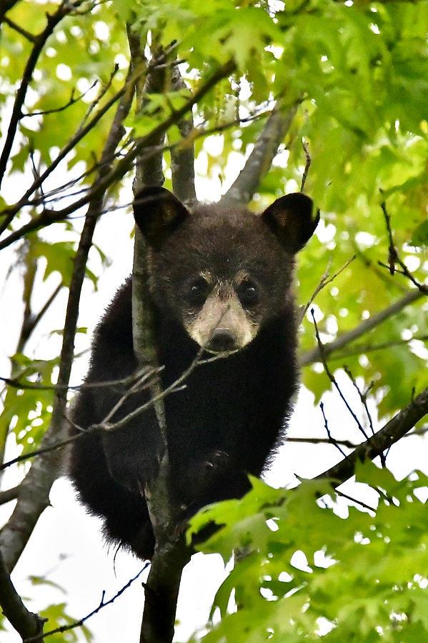 Black Bear Cub 3776 by Michael Peychich