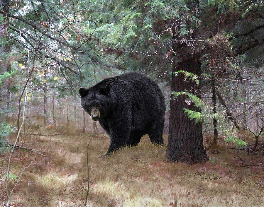 Black Bear Encounter by Thomas Colstad