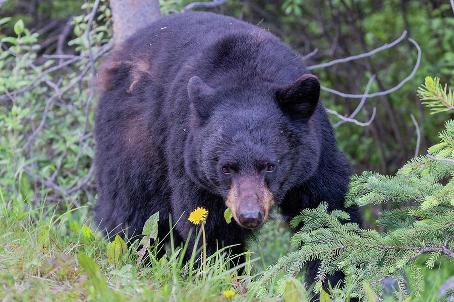 Black Bear by Paul Schultz