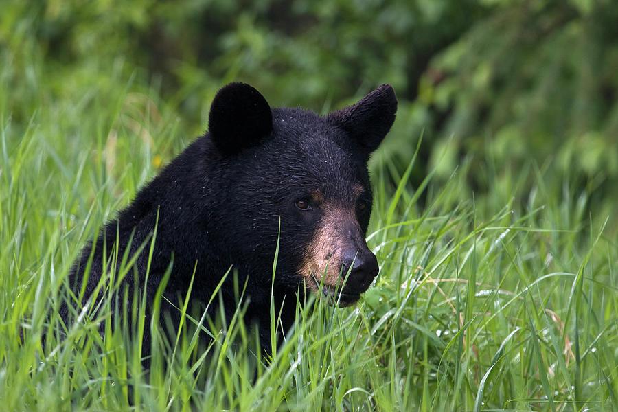 Alberta Photograph - Black Bear, Spring Rain by Ken Archer