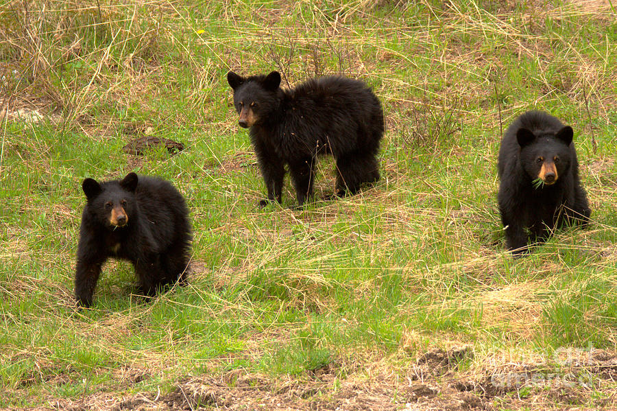 Black Bear Triplets Out For A Stroll by Adam Jewell