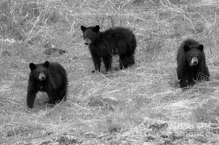 Black Bear Triplets Out For A Stroll Black And White by Adam Jewell