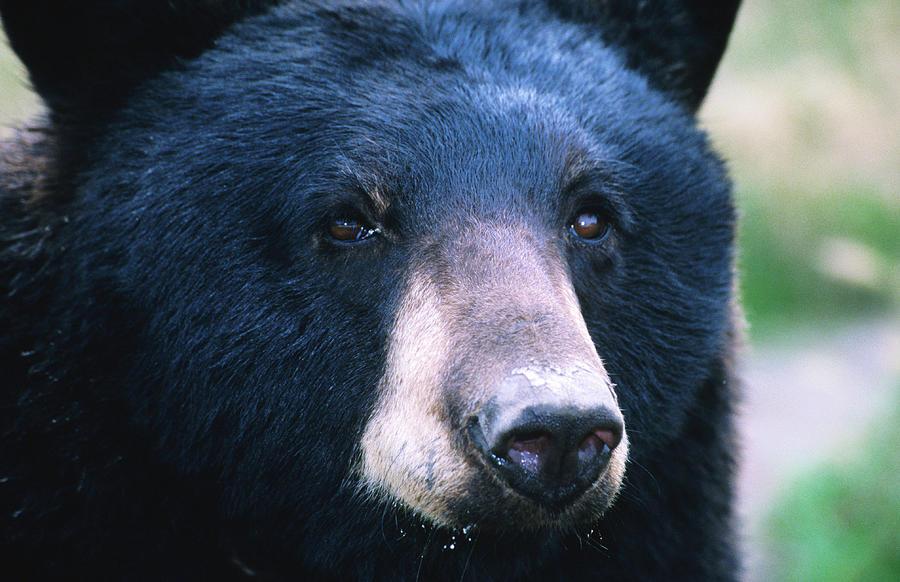 Black Bear Ursus Americanus, United Photograph by Mark Newman