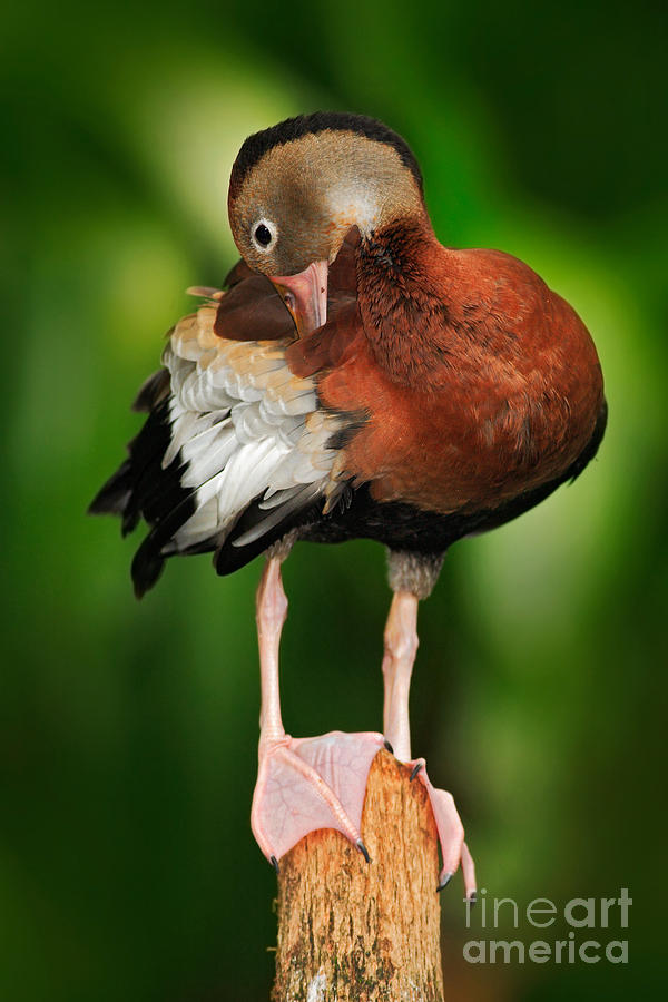 Beak Photograph - Black-bellied Whistling-duck by Ondrej Prosicky