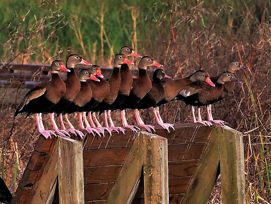 Black Bellied Whistling Ducks Photograph