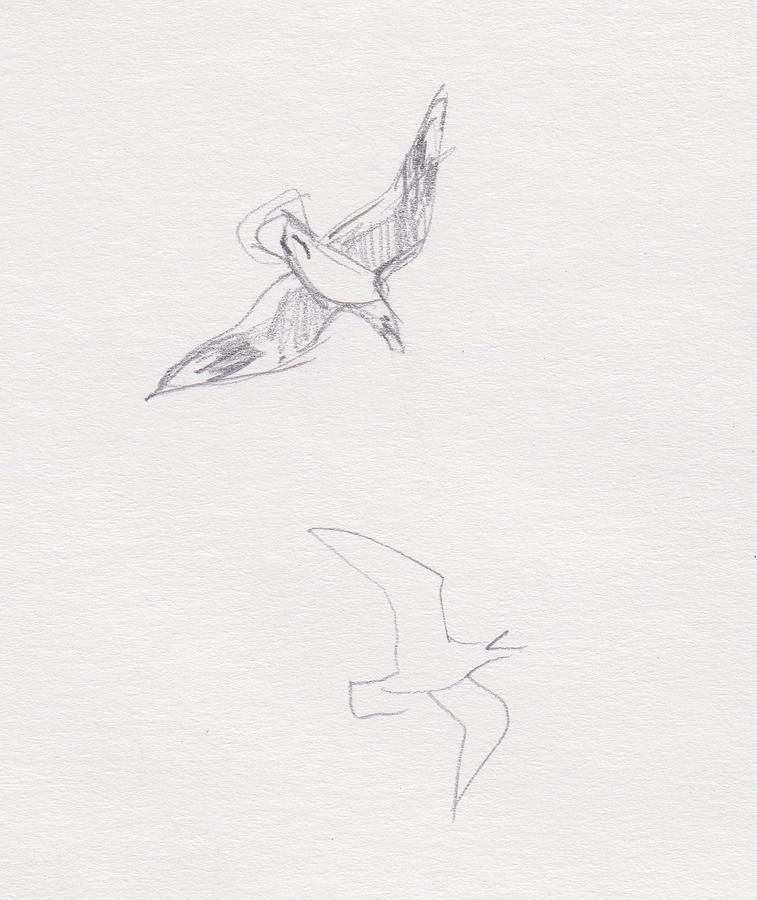 Black-billed Gulls by Abby McBride