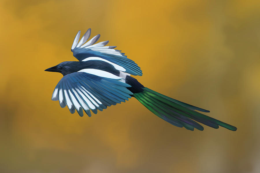 Black-billed Magpie Flying in Autumn Aspens by Mark Miller