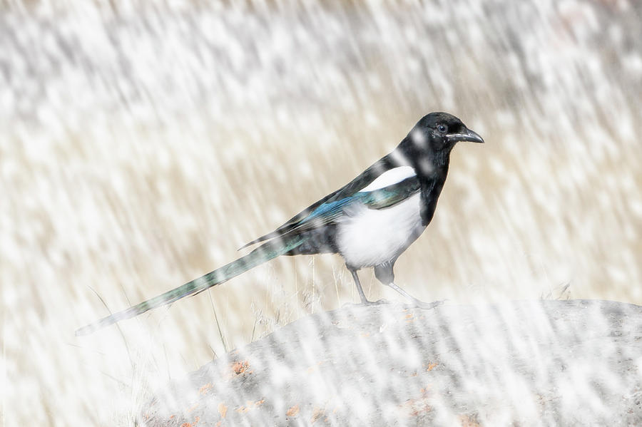 Black-billed Magpie in Snow by Mark Miller