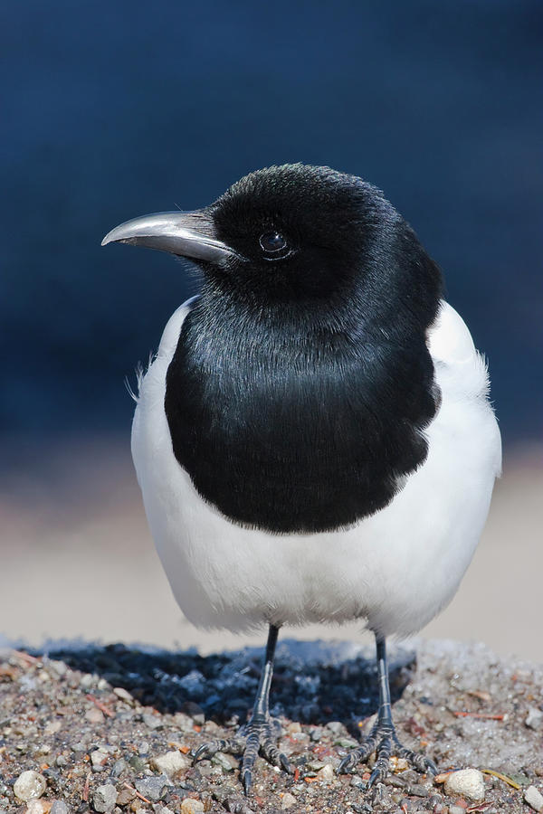 Black-billed Magpie Pica Hudsonia Photograph by Mark Miller Photos