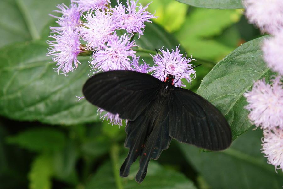 Black Butterfly by Stephanie Pieczynski