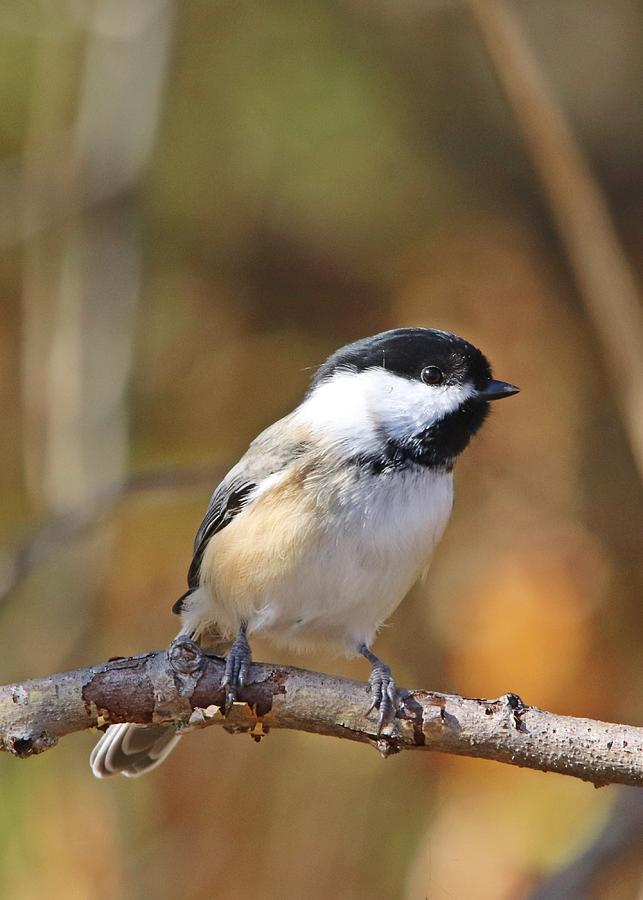 Black-capped Chickadee In Fall Portrait Photograph