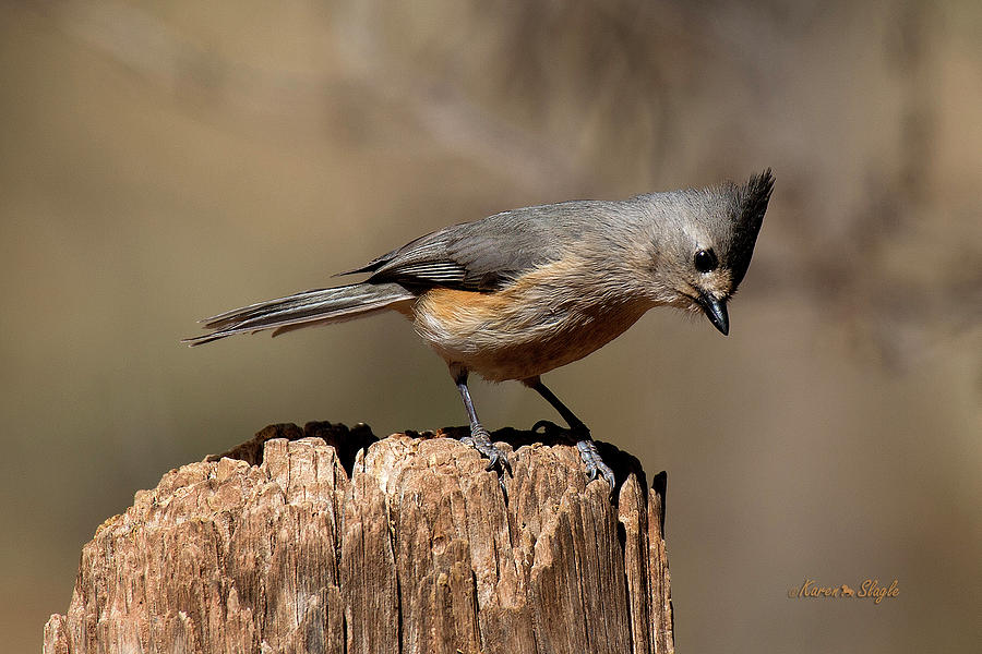 Black Crested Titmouse by Karen Slagle