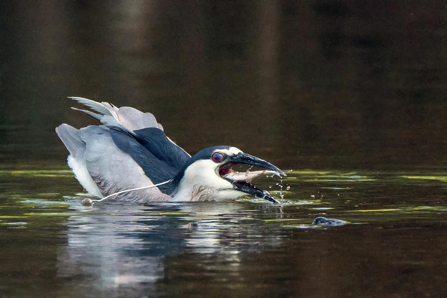 Black-crowned Night Heron 7830-061719 by Tam Ryan