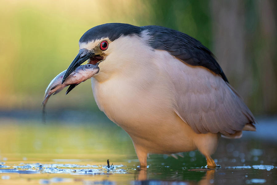 Black-crowned Night Heron and Fish by Thomas Hinsche