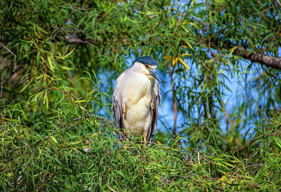 Black Crowned Night Heron by Anthony Jones