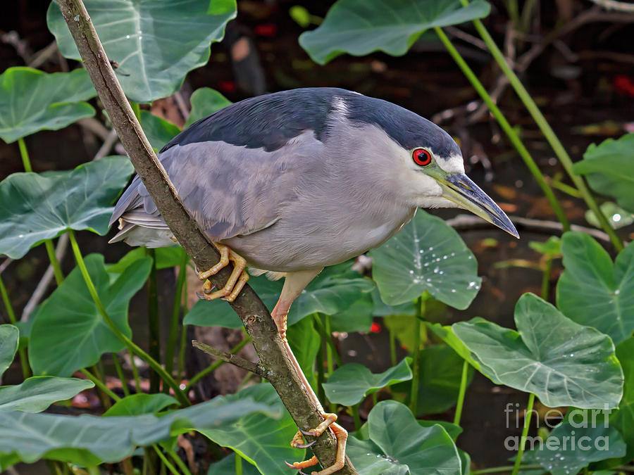Heron Photograph - Black-crowned Night Heron by Blair Howell