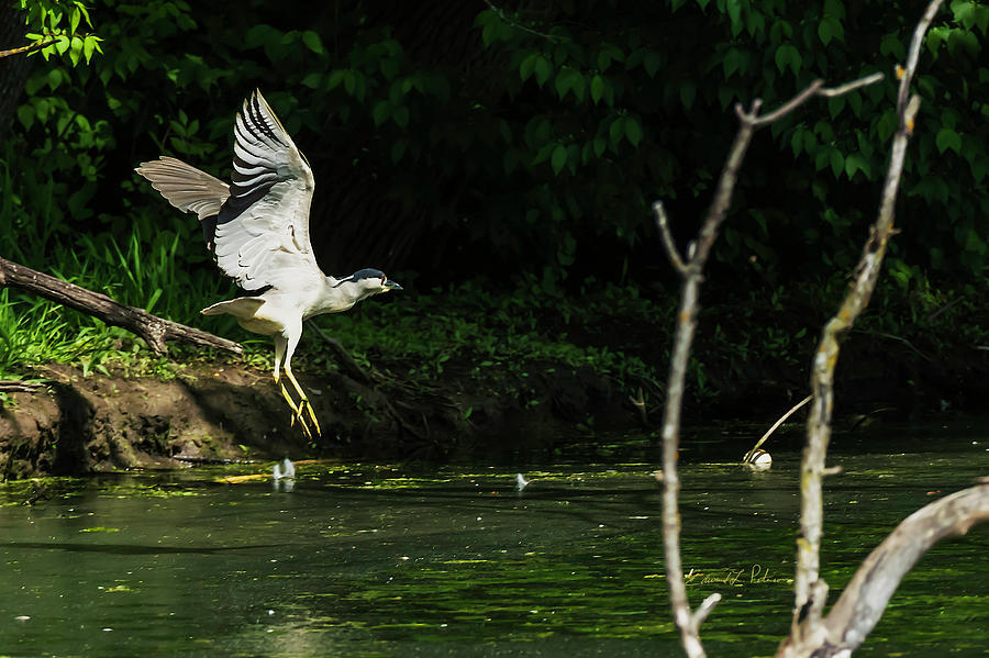 Black-crowned Night Heron In Flight by Edward Peterson