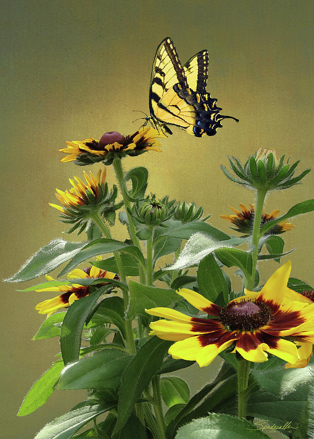Black-eyed Susan And Tiger Swallowtail Butterfly by Spadecaller