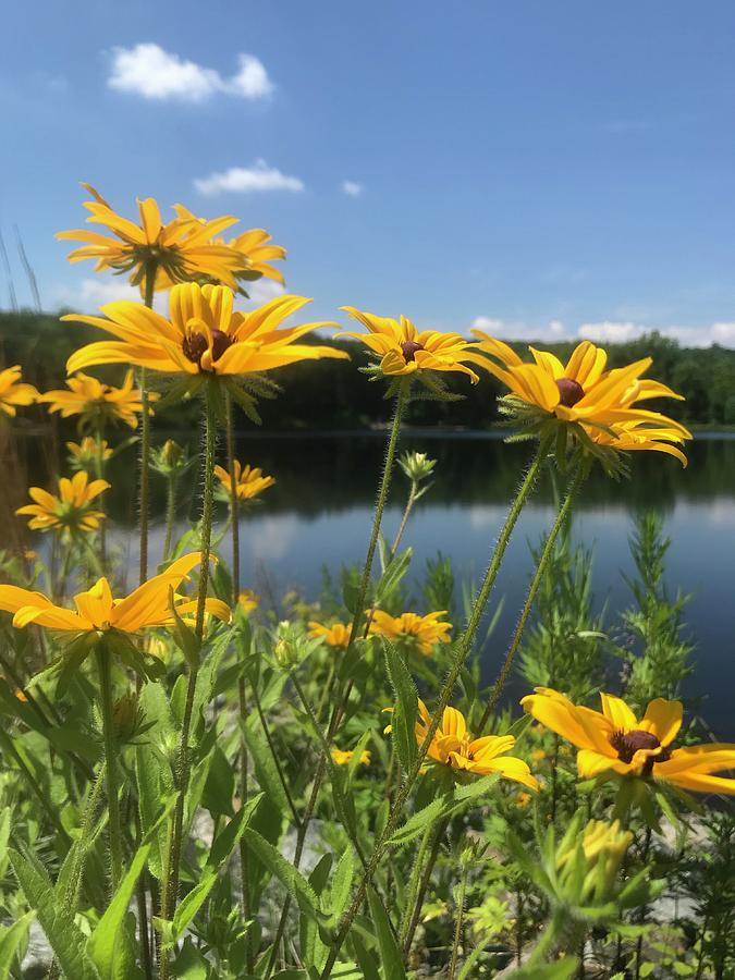 Black-Eyed Susan Flowers 1 by Jason Nicholas