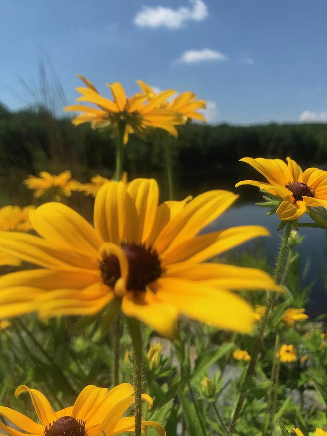 Black-eyed Susan Flowers 2 by Jason Nicholas