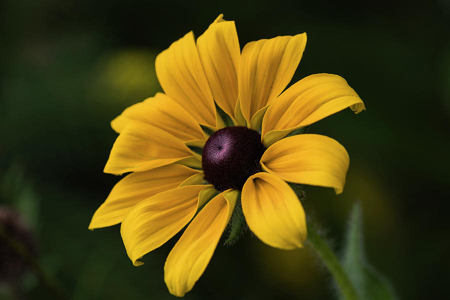 Black-eyed Susan July by Robert Potts