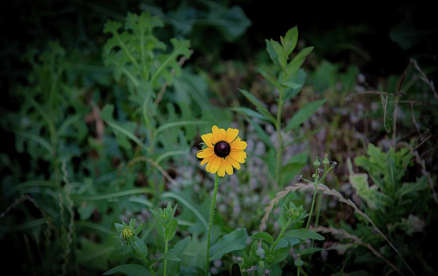 Black-eyed Susan by Lora J Wilson