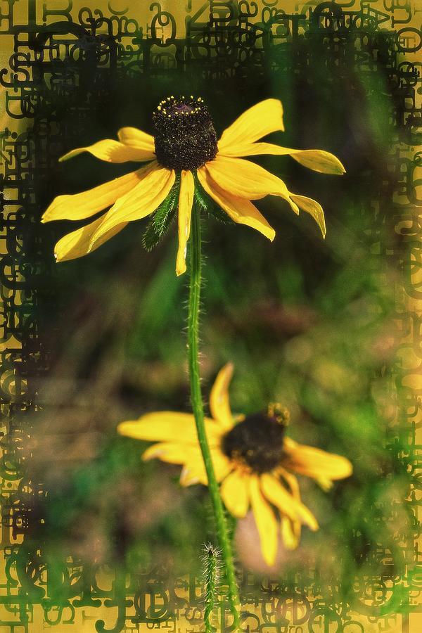 Black Eyed Susan Wildflower Photograph