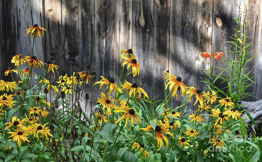 Black-eyed Susans, Michigan Upper Peninsula Photograph