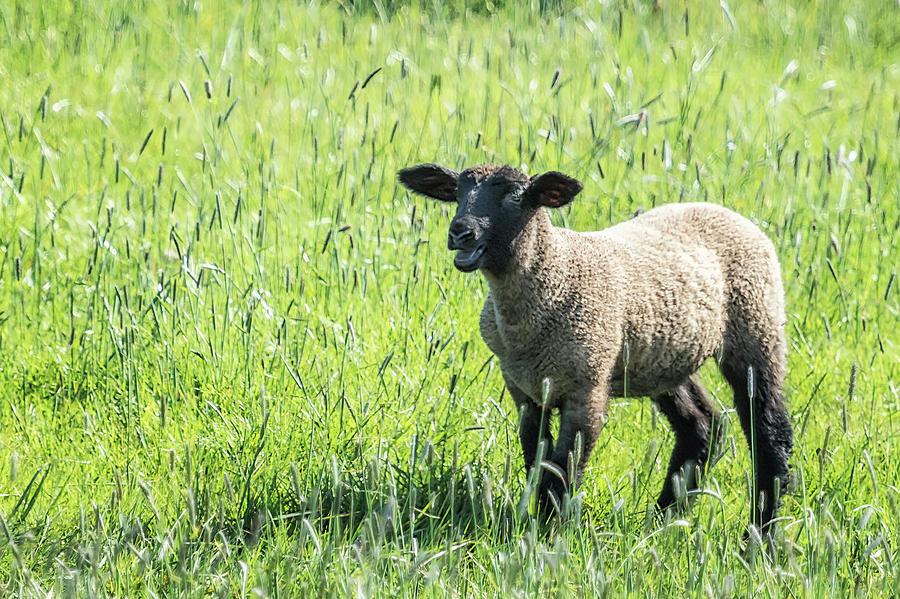 Black Faced Lamb Baaing by Belinda Greb