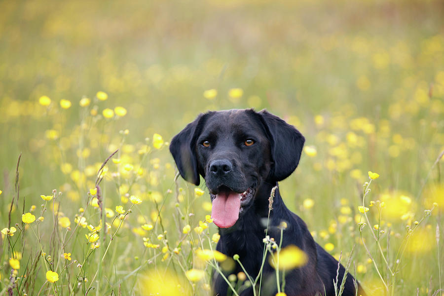 Black Labrador Dog Sitting In Buttercup Photograph by Juliet White