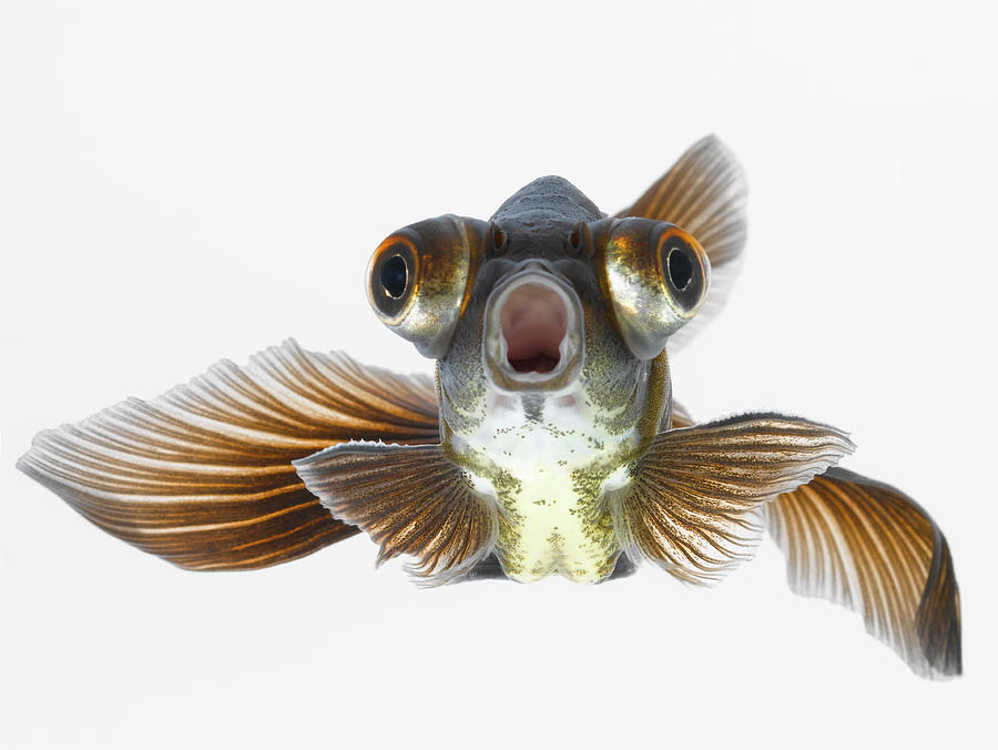 Black Moor Goldfish Carassius Auratus Photograph by Don Farrall