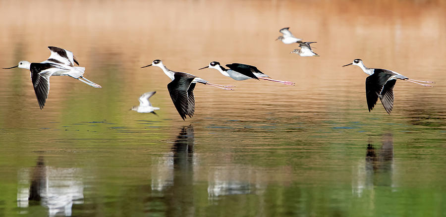 Black-necked Stilts with Avocet and Least Sandpipers 6431-091919 by Tam Ryan