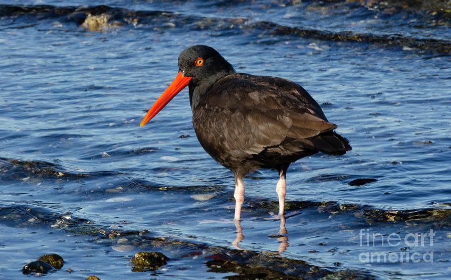 Bird Photograph - Black Oyster Catcher by Bob Christopher