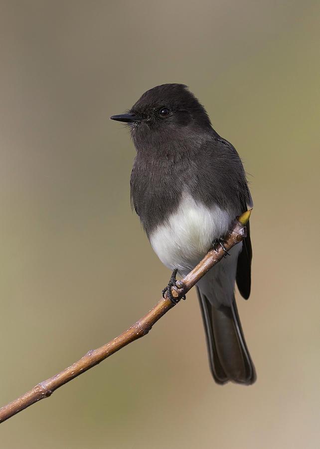 Birds Photograph - Black Phoebe, Sacramento County California by Doug Herr