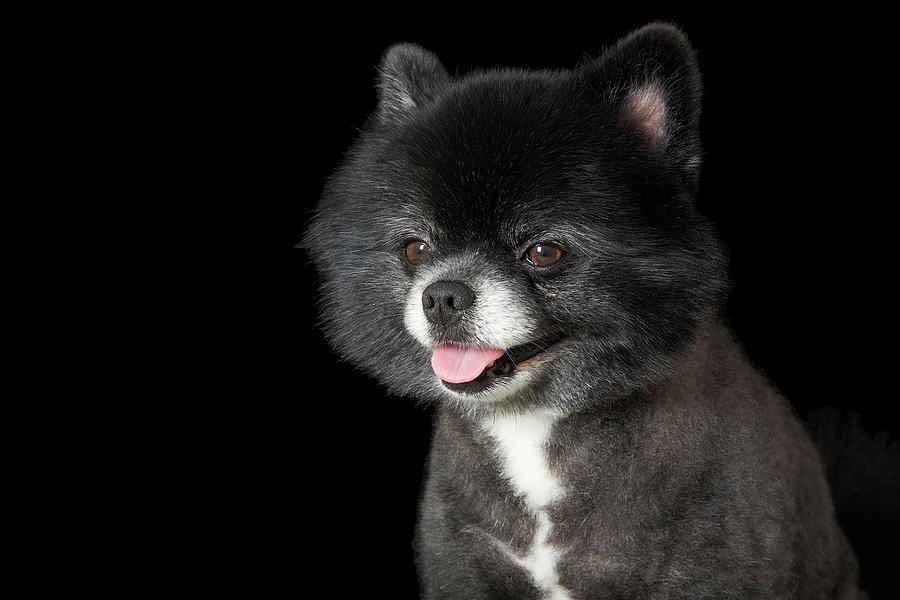 Black Pomeranian Looking To The Left Photograph by M Photo