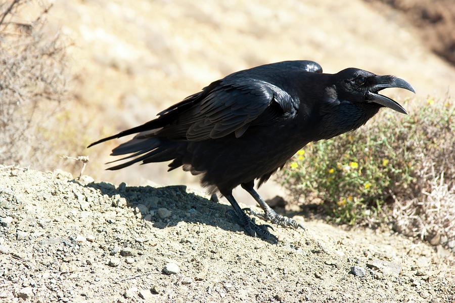 Black raven by Anna Kluba