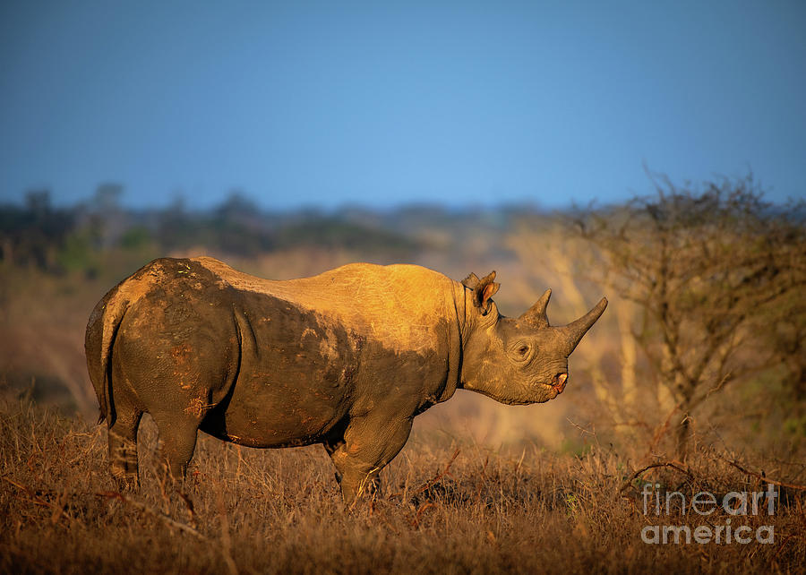 Black Rhino Sunrise Photograph
