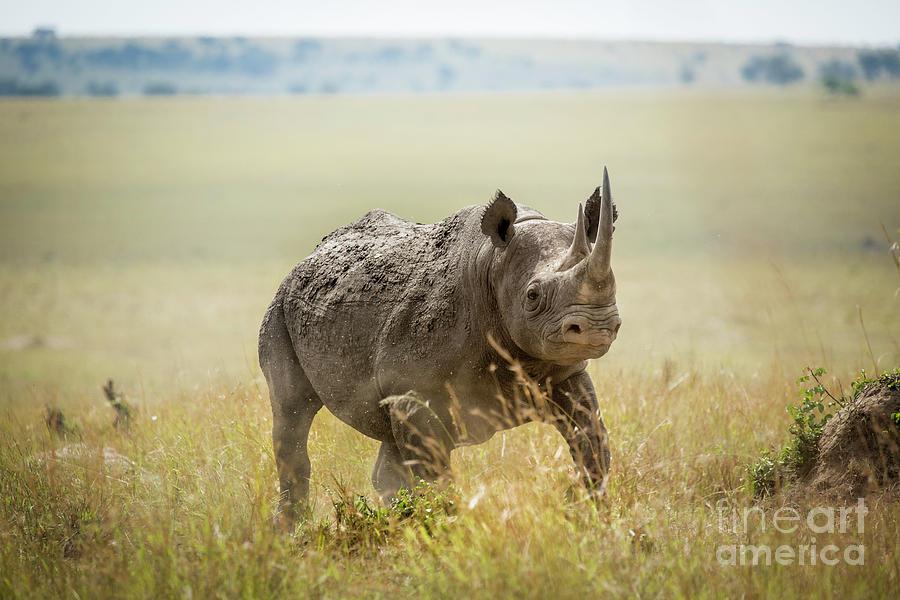 Black Rhino by Timothy Hacker