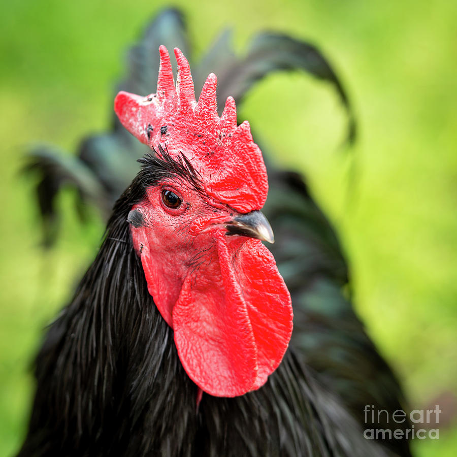 Black Rooster Portrait by Tim Hester