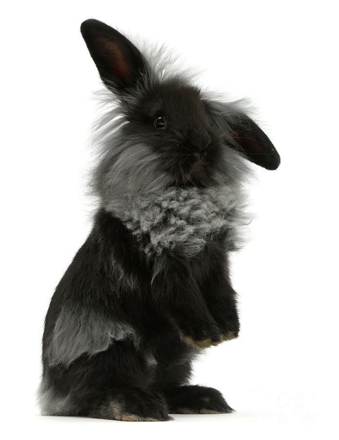 Black Rough Bunny by Warren Photographic