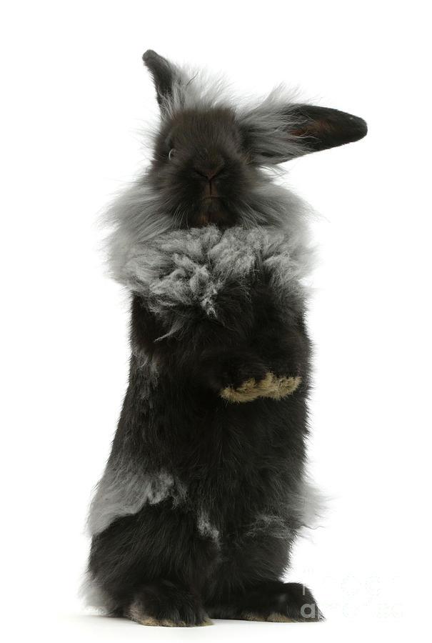 Black Photograph - Black Rough Rabbit by Warren Photographic