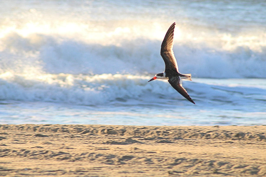Black Skimmer Soaring by Robert Banach