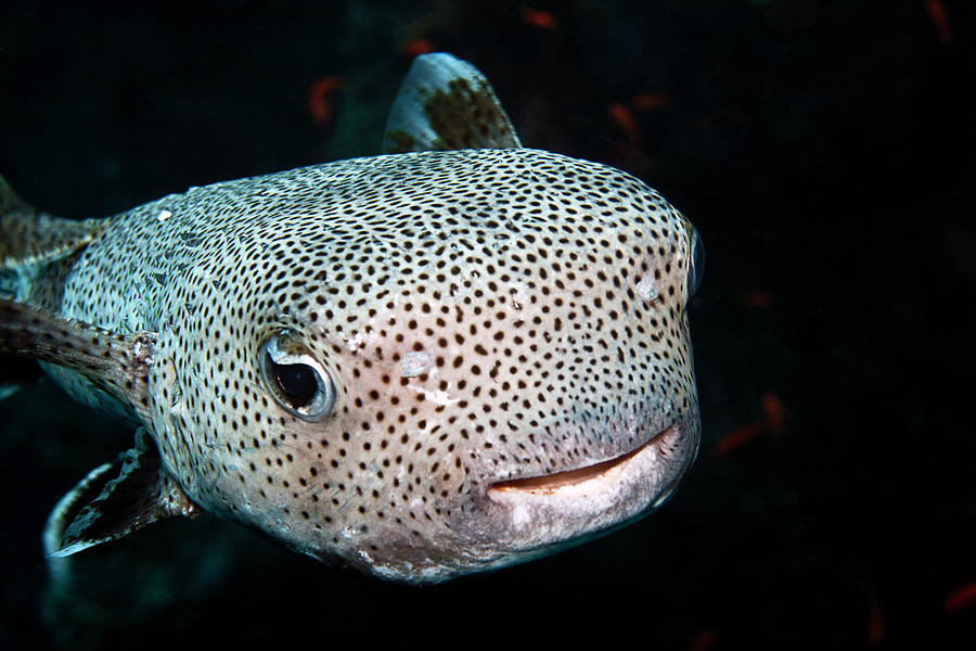 Black-spotted Porcupinefish Photograph by Lea Lee