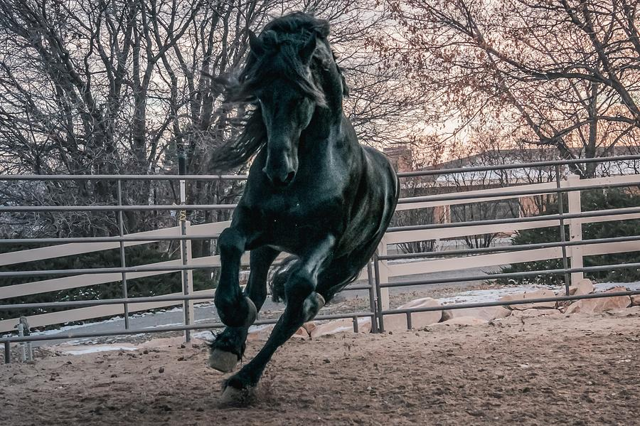 Black Stallion Cantering by Carol Whitaker